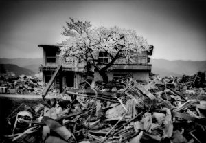 Cherry blossoms have open on a tree that seems to rise right out of the rubble. Ofunato, Iwate Prefecture, Japan.